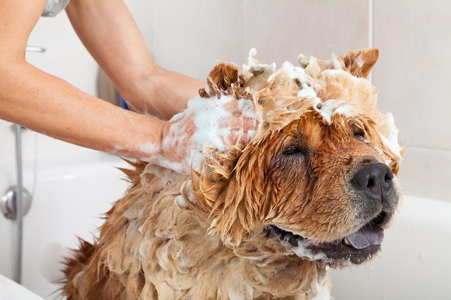 dog covered in soap because he is taking a bath