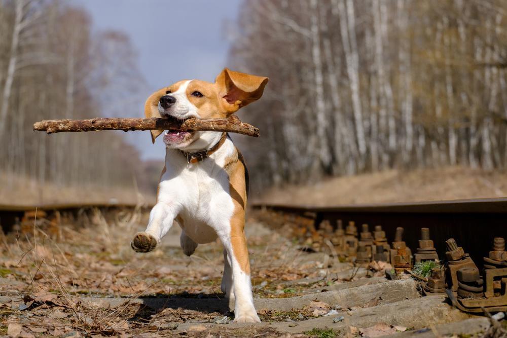 Beagle Puppy playing on rail road tracks.